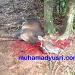 Mati Disembelih Di bawah Pokok